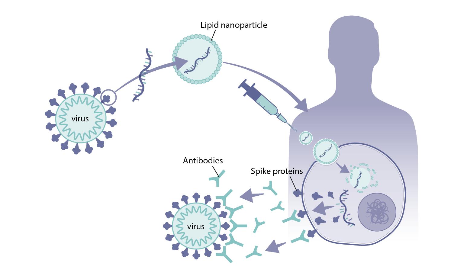 How mRNA vaccines work